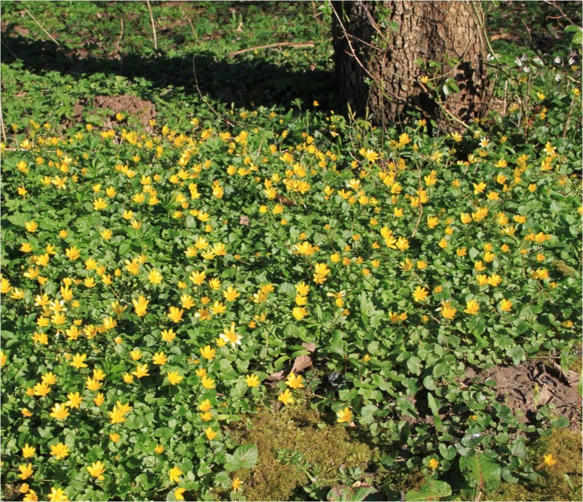 små gule blomster i græsplænen