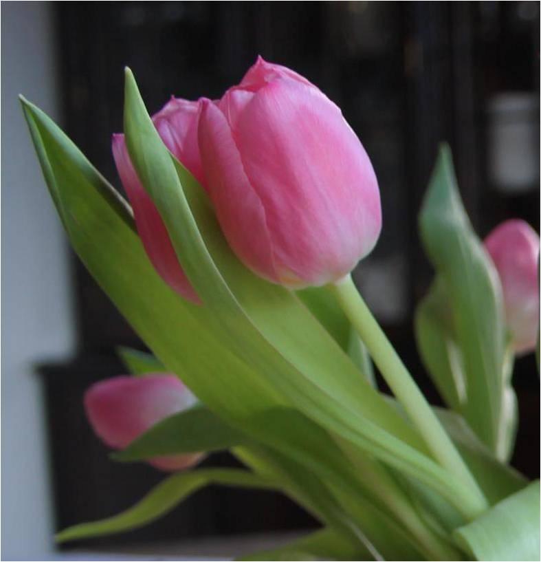 Trang til tulipaner